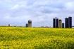 Mustard Fields of...