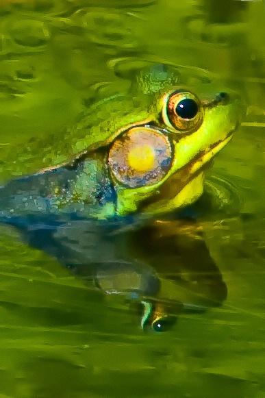 Frog Design - ID: 6305674 © Deborah C. Lewinson