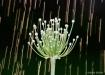 onion_flower1