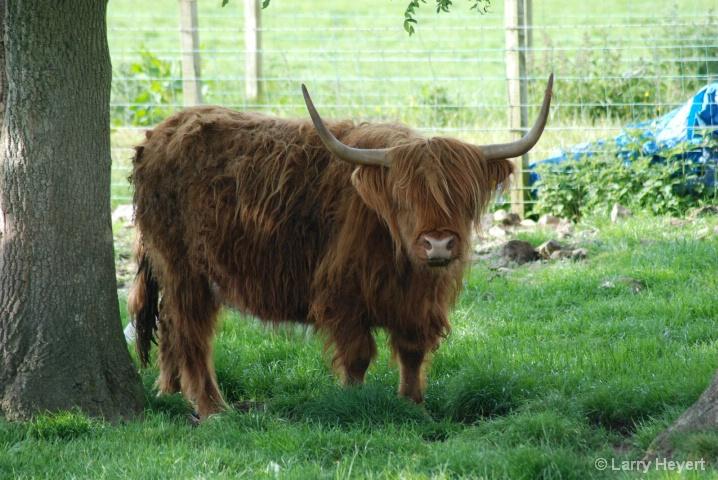 Scotland- Highland Cow- B&B near Ayr - ID: 6378617 © Larry Heyert