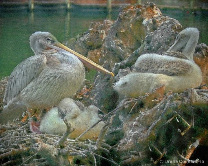 Gray Pelican Nesting In Pastels