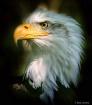 Eagle in Woodland...