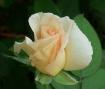 Apricot Rose