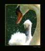 Mute Swan & Cygne...