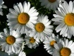 daisies 1