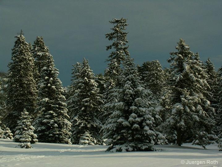 AA-001: Evergreens - ID: 6556535 © Juergen Roth