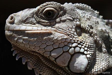 Iguana Textures