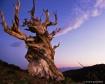 Bristlecone Pine ...