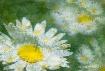 Daisies upon Dais...