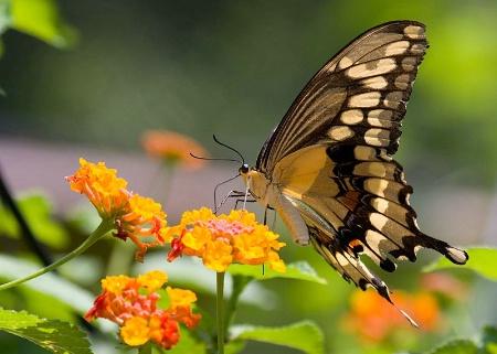 Swallowtail in Sunlight
