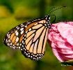 Monark Butterfly-...