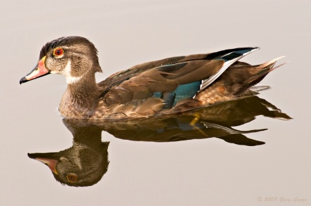 Juvenile male Wood duck