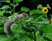 Squirrel in my Su...