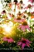 conflowers