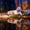 Tiger in Technico...
