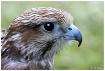 Hawk....