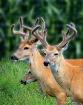 Three Bucks