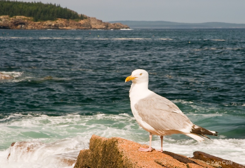 Seagull at Acadia - ID: 6810147 © Ken Cole