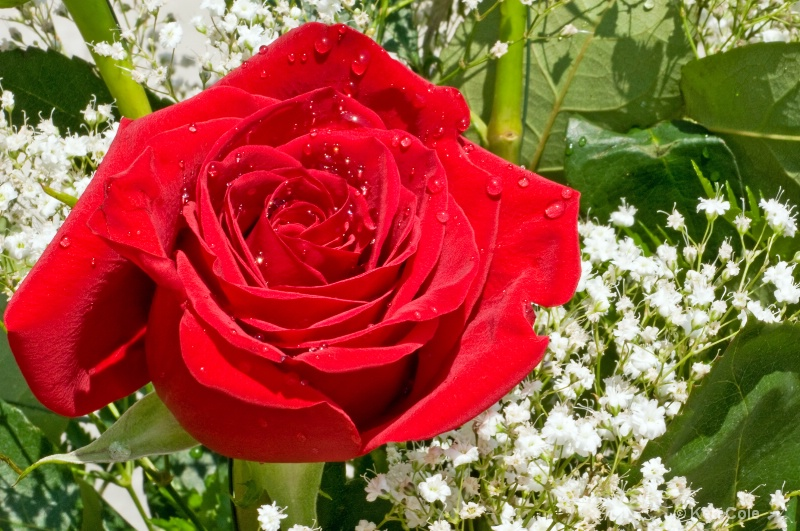 Red Rose - ID: 6811840 © Ken Cole