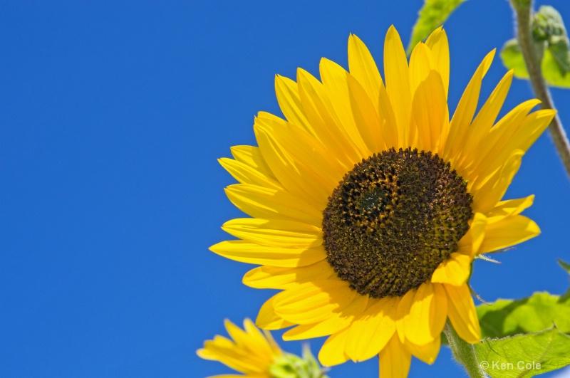 Sunflower and blue sky - ID: 6811842 © Ken Cole