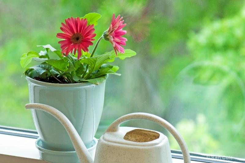 Gerber Daisy in Window - ID: 6811859 © Ken Cole
