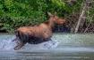 Moose Splash