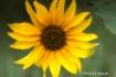 meadow sunflower