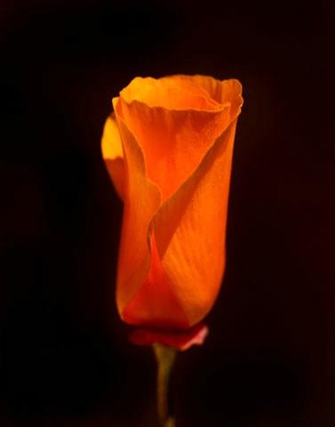 poppy 2  - ID: 6876655 © Paul Knupp