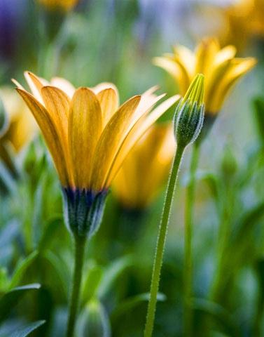 daisy-encanitas - ID: 6876657 © Paul Knupp