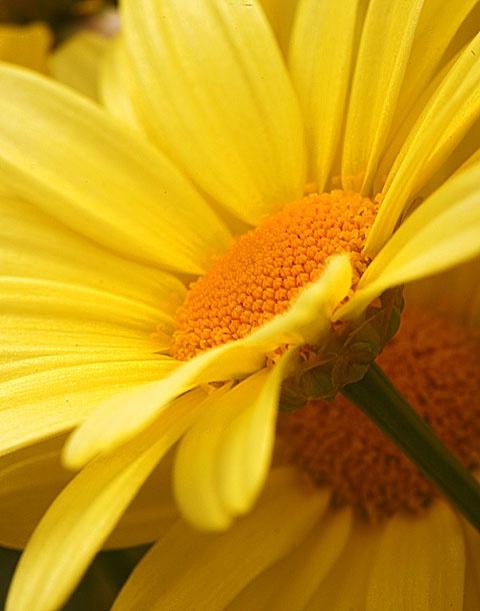 daisy - ID: 6876659 © Paul Knupp