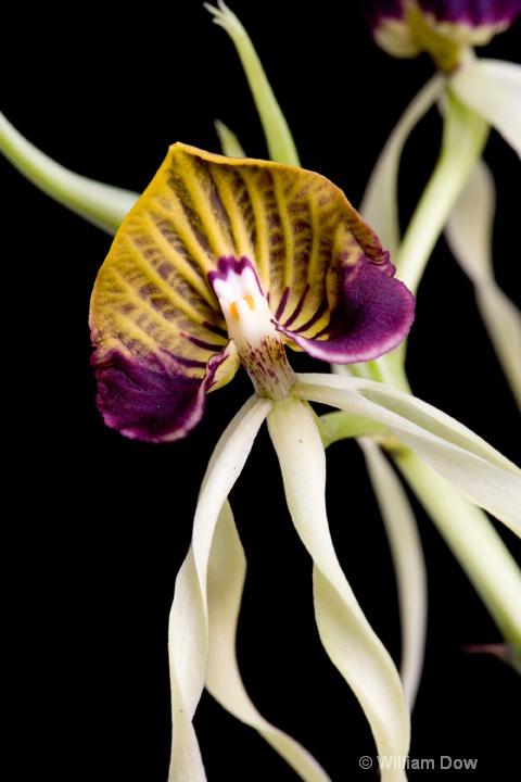 Encyclia cochleata 02 - ID: 6878703 © William Dow
