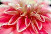 dahlia, pink, red...