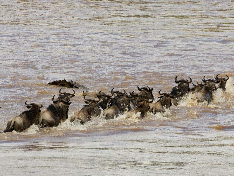 Wildebeest Crossing with Crocodile - ID: 6981382 © James E. Nelson