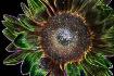 Sunflower Inverte...