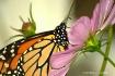 Butterfly Close-u...