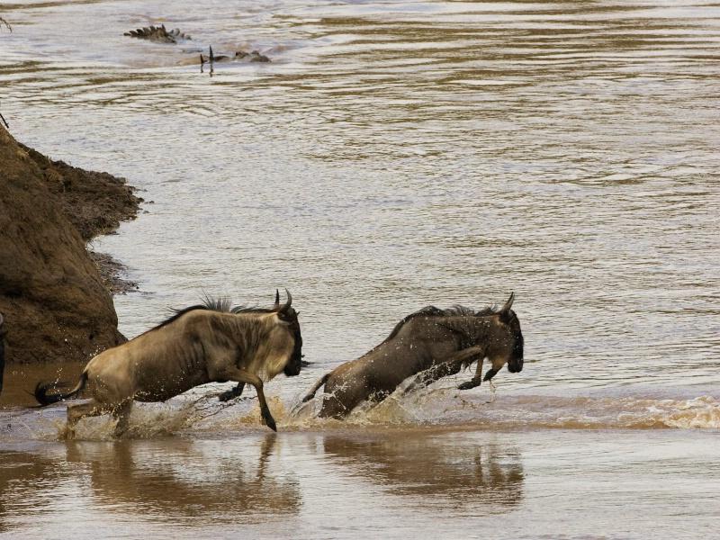 Wildebeest Crossing - ID: 7143236 © James E. Nelson
