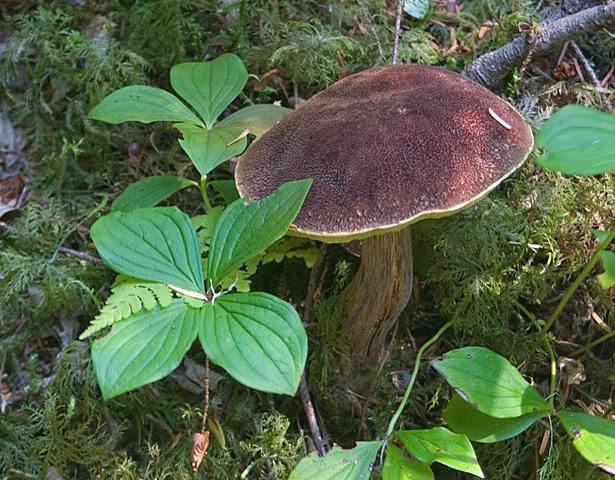 Mushroom (Photo by Carolyn Curry) - ID: 7150267 © Donald R. Curry
