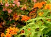 Monarch Autumn