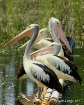 Pelican Profundit...