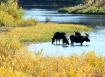Moose at Oxbow Be...