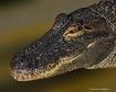 smiling-gator