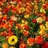 © John T. Sakai PhotoID# 7354840: Multi-colored Ranunculus
