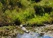 Gator Seen On Swa...
