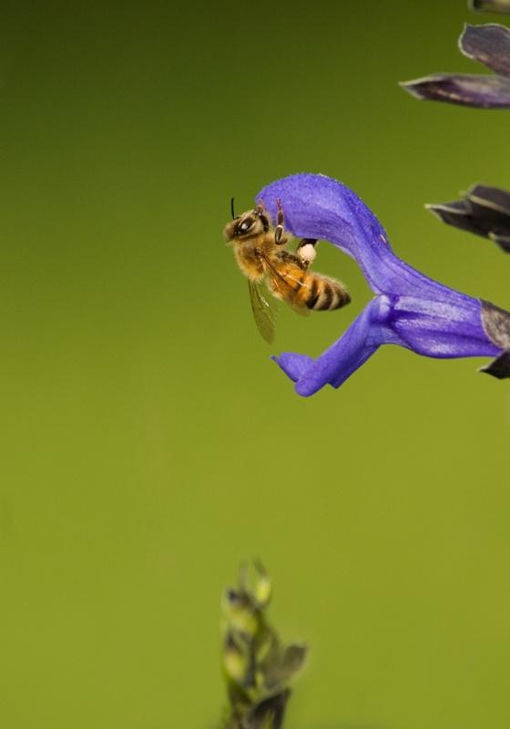 honey bee - ID: 7366517 © Michael Cenci