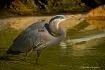 Golden Lit Heron