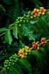 Kona coffee cherr...