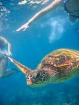 Turtle swimming a...
