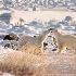 2Polar Bear Play - ID: 7435928 © Gary W. Potts