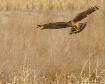 Northern Harrier ...