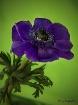 Purple Splender